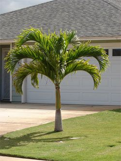 Palm Trees Tampa Bay Largo Clearwater St Petersburg Florida Indoor Palm Trees Palm Trees Landscaping Small Palm Trees
