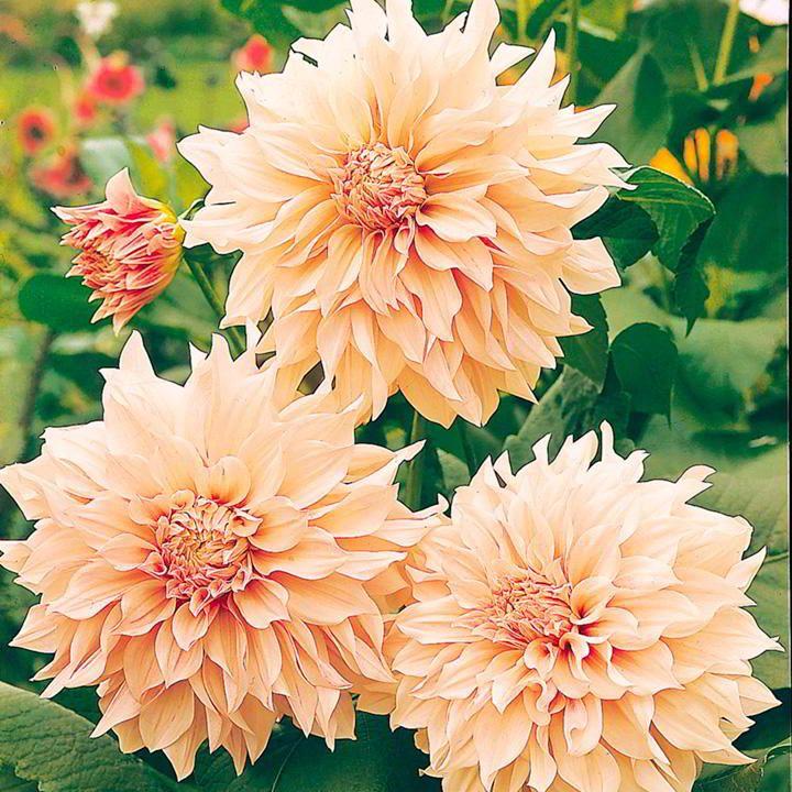 Dahlia Tubers Cafe au Lait Flower bulbs garden, Dahlia