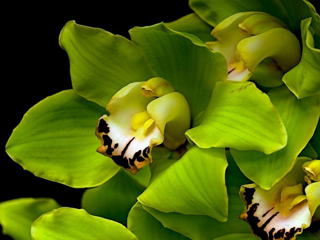 Cymbidium Green Orchid Orchids Orchid Wallpaper