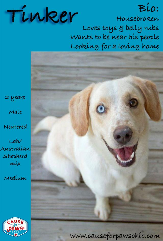 Tinker Is A Yellow Lab And Australian Shepherd Mix That Is Estimated To Be 2 Years Old You Can See A Lot O Australian Shepherd Labrador Retriever Dog Adoption