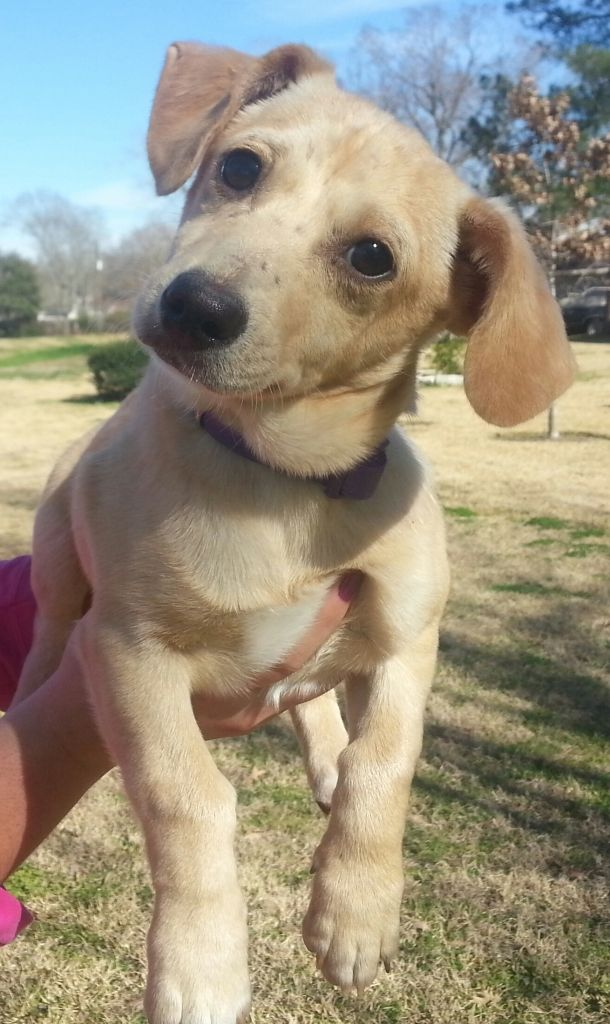 Tango and Cash. Yellow Lab/Corgi mix boys, are approx 4 months old, will be around 35lbs when full grown. Very sweet, get along great with other dogs, doing great with house training but need more work. Very affectionate and want to follow...