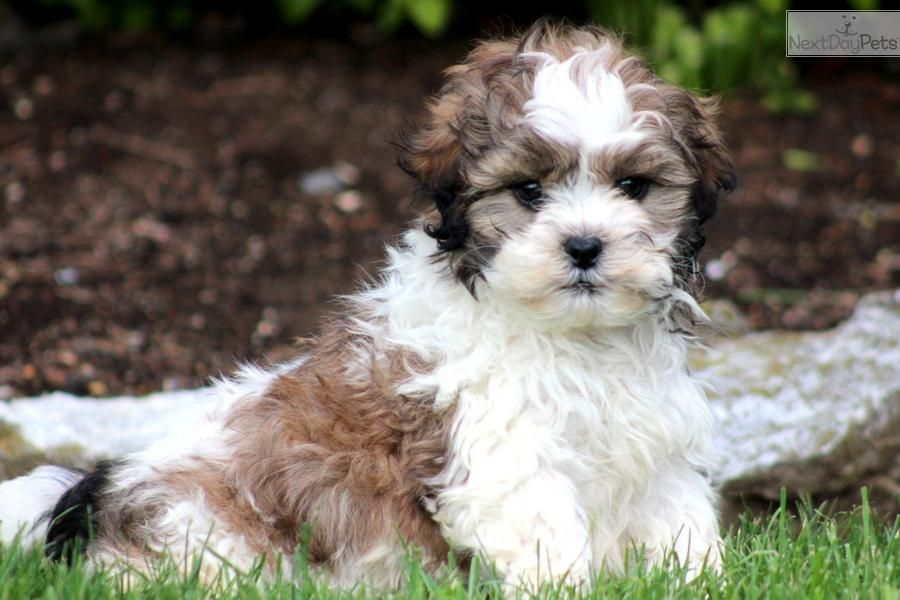 Shih Poo Google Search Shih Poo Shih Poo Puppies Puppies