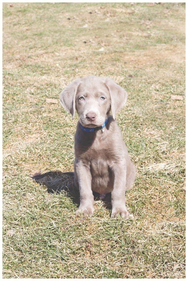 Silver Lab Puppy Silver Labrador Puppies Silver Lab Puppies Lab Dogs