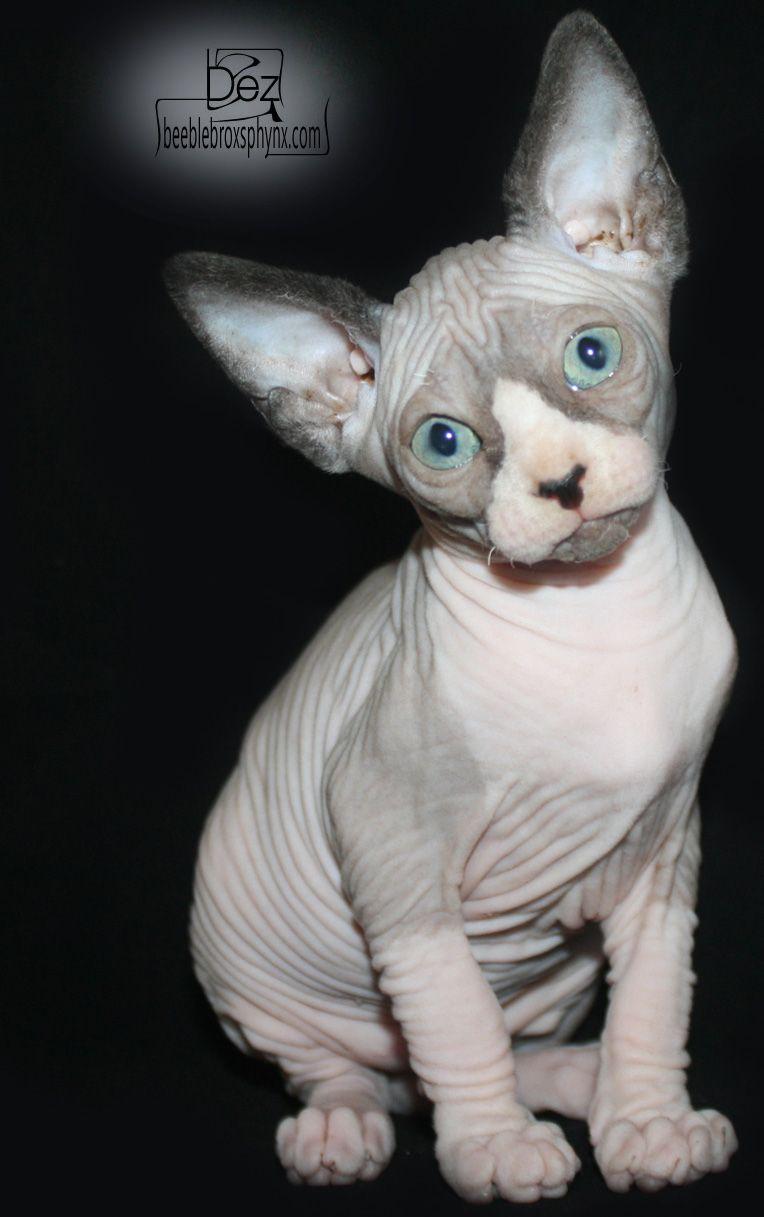 Black and white 8 week old hairless Sphynx kitten
