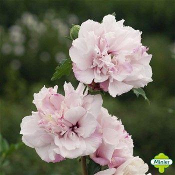 cheap hibiscus syriacus ufrench cabaretu with hibiscus de jardin persistant. Black Bedroom Furniture Sets. Home Design Ideas