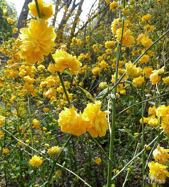Flowering Shrubs For Shady Spots Bright Yellow Flowers In April And May Easy