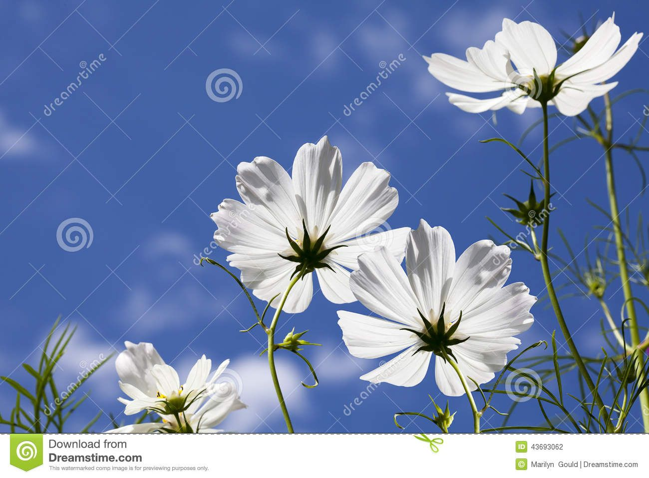 White Cosmos Flowers Blue Sky Download From Over 39 Million High