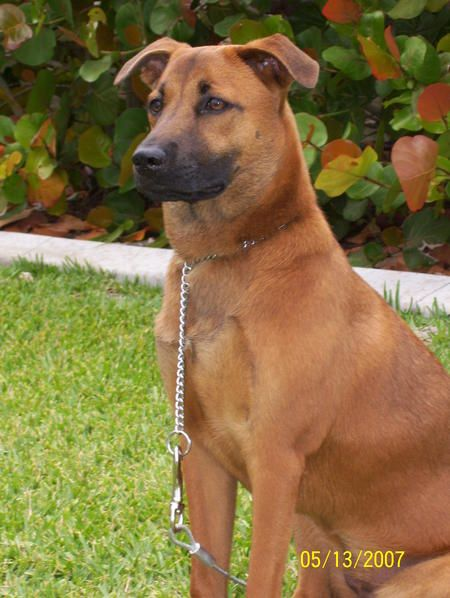 belgian malinois labrador mix pics | Piper the Belgian ...