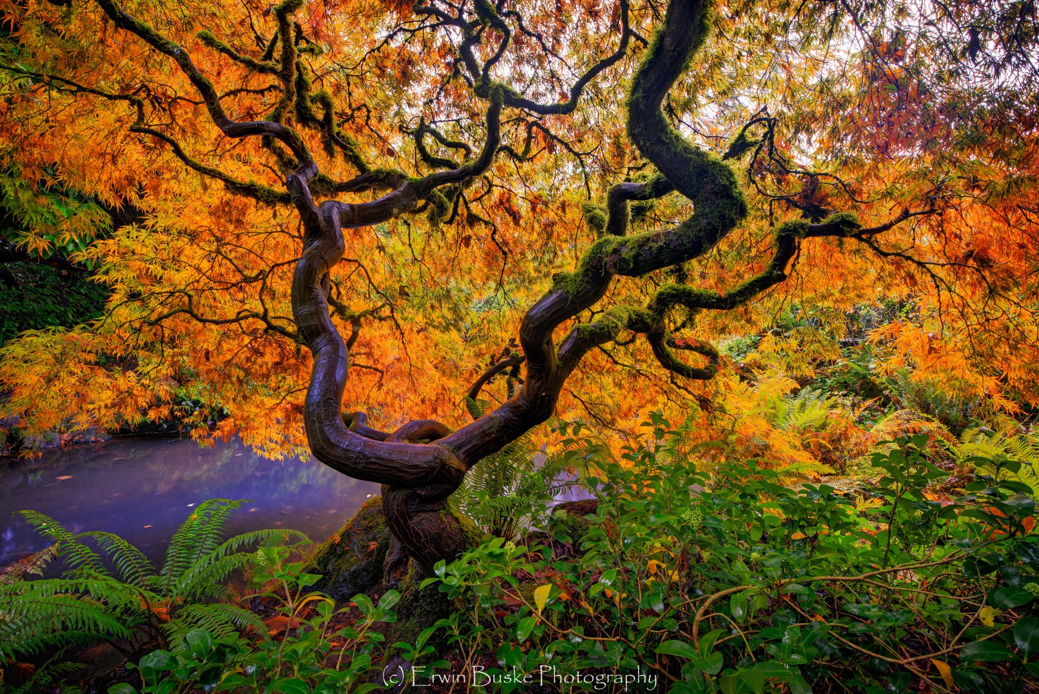 Japanese Maple in Kubota Gardens, Seattle (With images