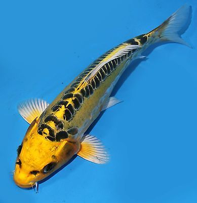 Live koi fish 10 034 yellow doitsu ki matsuba koibay for Yellow koi fish for sale