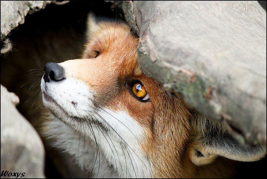 Scared Fox Squirrel Stock Photo - Image: 53351767