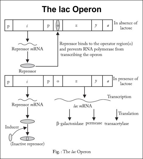 ap biology operon essay Ap biology home about  agenda levels      exams 4th six repressible operon - your classmates will be evaluating your models on the following.