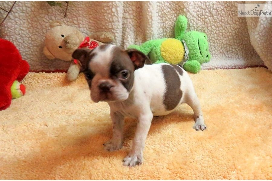 Boston Terrier Puppy For Sale Near Springfield Missouri