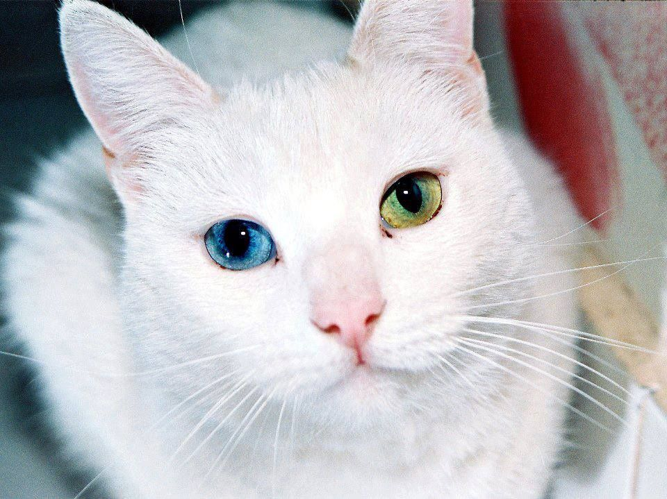 White, two different colored eyes, 90 of the time this