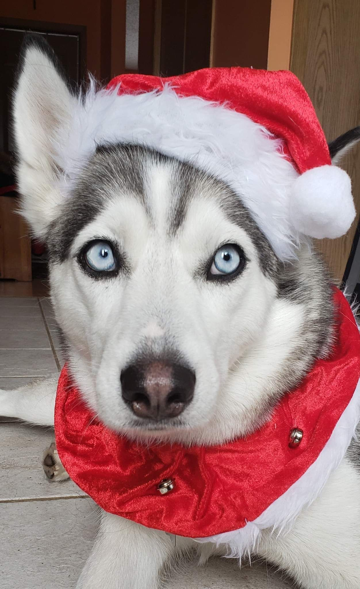 Santa S Little Helper Siberianhusky Siberian Husky Dog