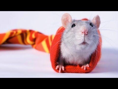 Fun Activities To Do With Your Rat Pet Rats Youtube Pet Rats