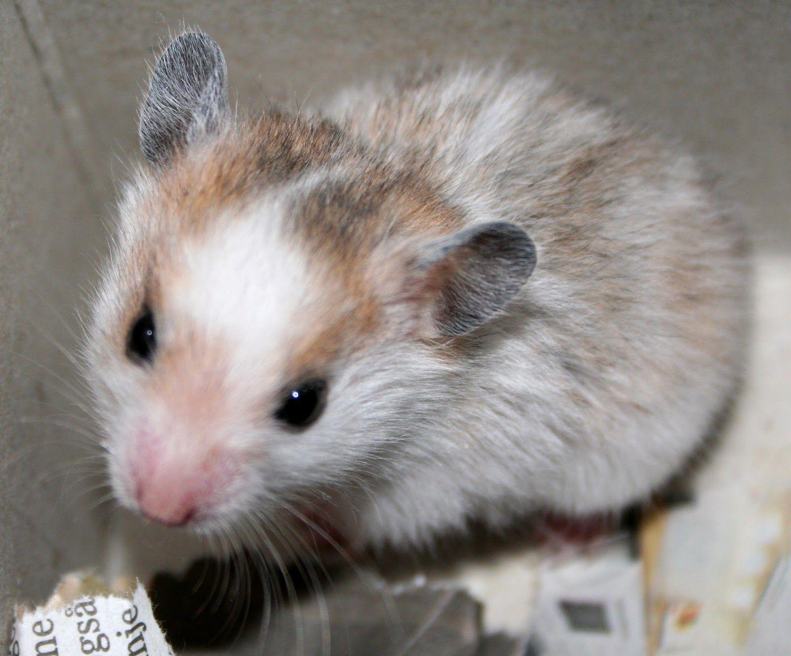All About Syrian Teddy Bear Hamster Bear Hamster Syrian Hamster Baby Hamster