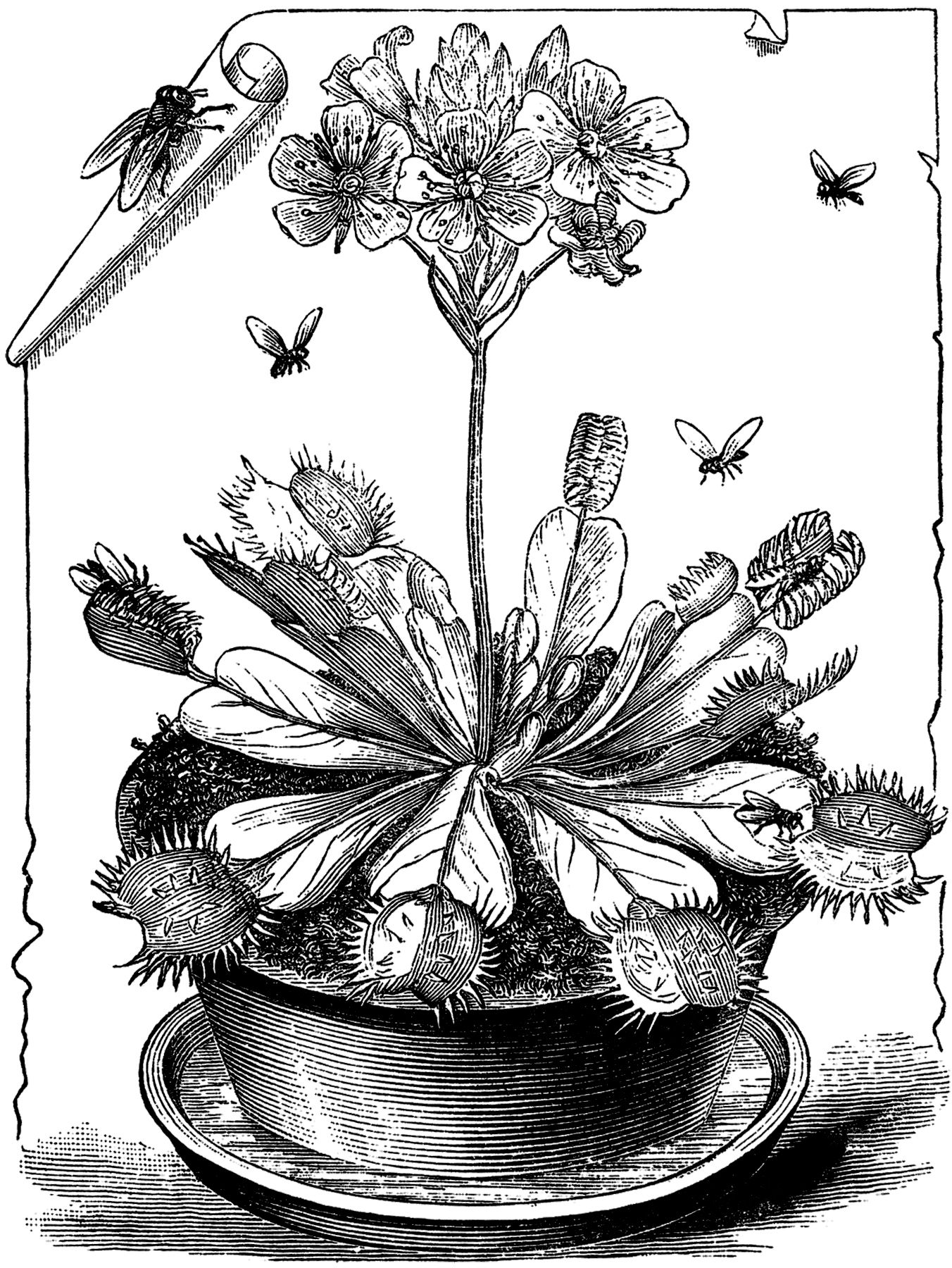 Free Venus Flytrap Coloring Pages Printable Coloring Pages For