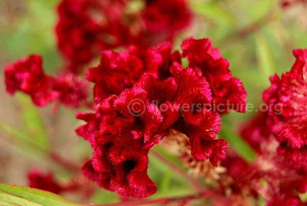 Common Name Crested Celosia Cockscomb Botanical Name Celosia Cristata Family Amaranthaceae Order Caryophyllales Flowers Herbaceous Perennials Garden Beds