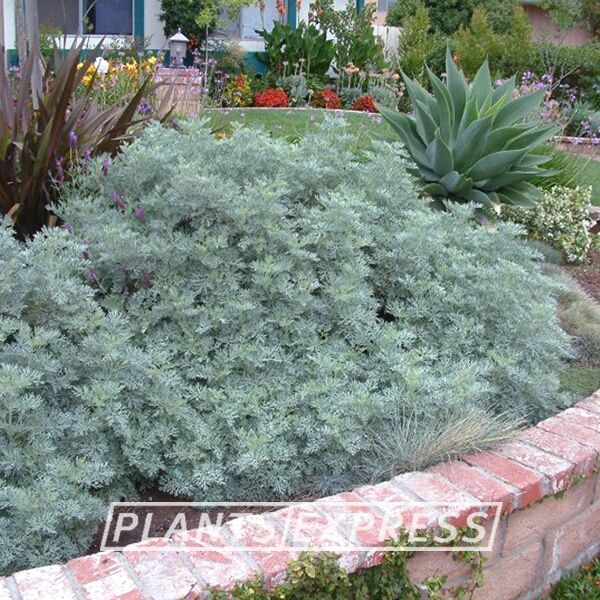 Artemisia 'Powis Castle'  Plants for Slopes and Hillsides  Here are plants you can take to the bank – literally. Got a rocky slope? How about a hillside with poor soil and little water? Plants Express has you covered with plants of all sizes, colors and exotic textures for the adventurous landscape designer. Forget the climbing gear since these plants do best when left alone.