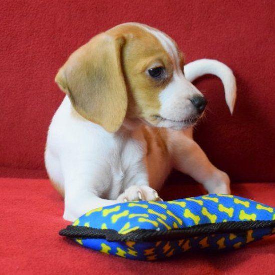 Beagle Puppy For Sale In Chattanooga Tn Adn 27959 On Puppyfinder