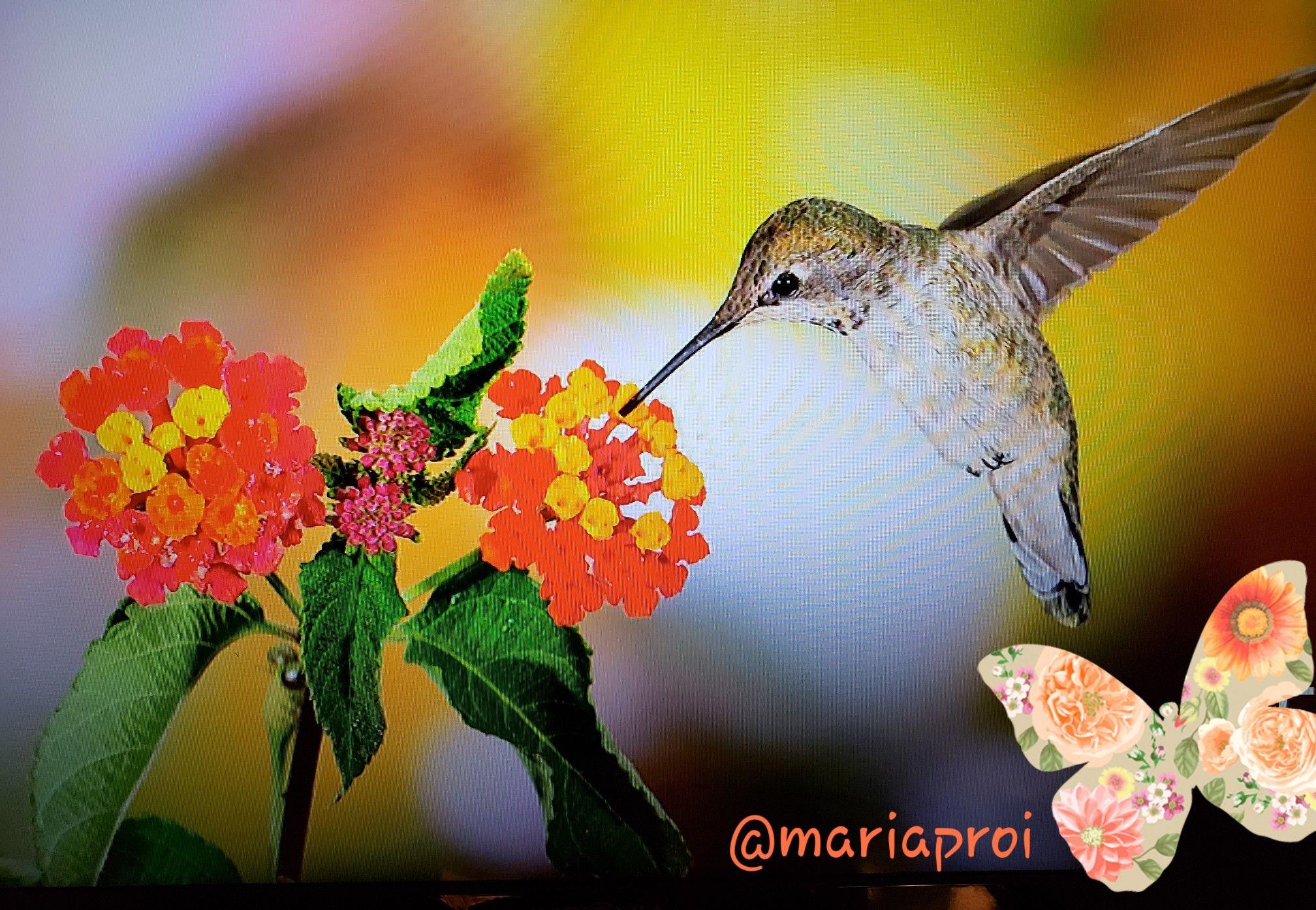 Beautiful hummingbird w/ flowers Chromecast background