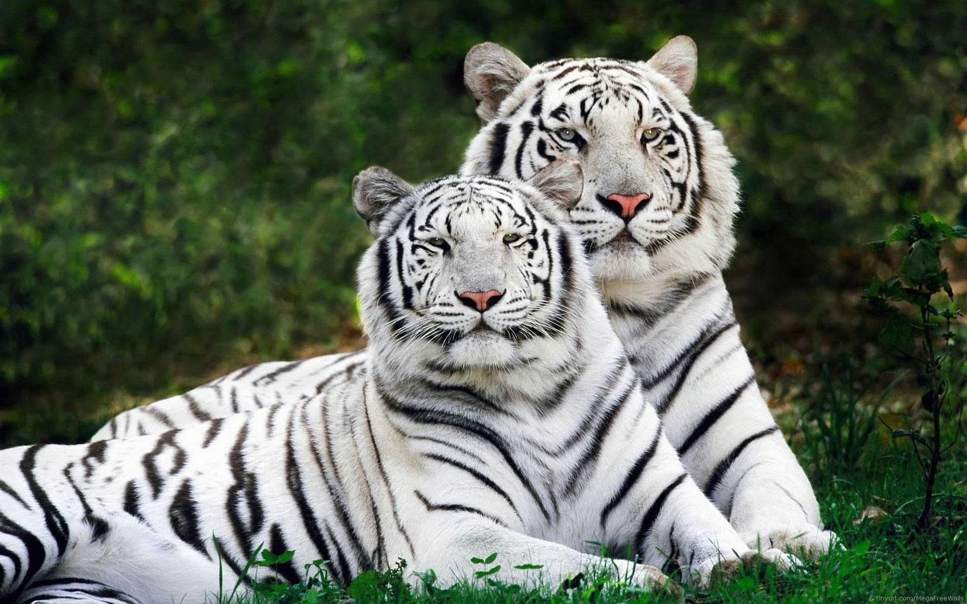 224 white tiger hd wallpapers | backgrounds - wallpaper abyss | best