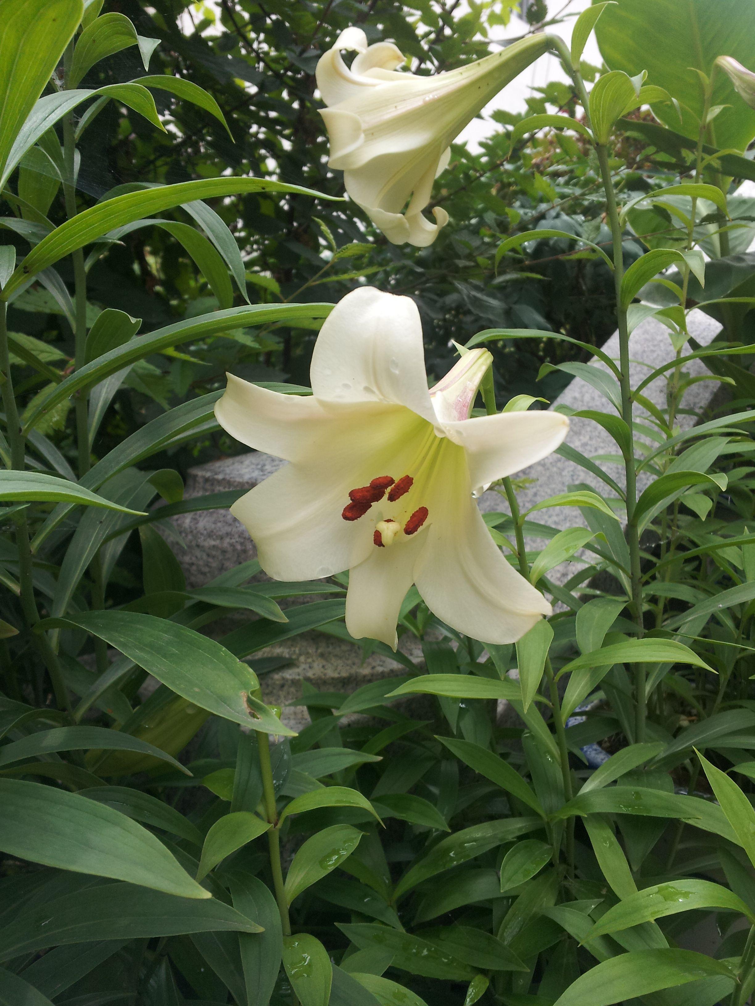 집 마당 화분에 활짝 핀 '백합(lily)'