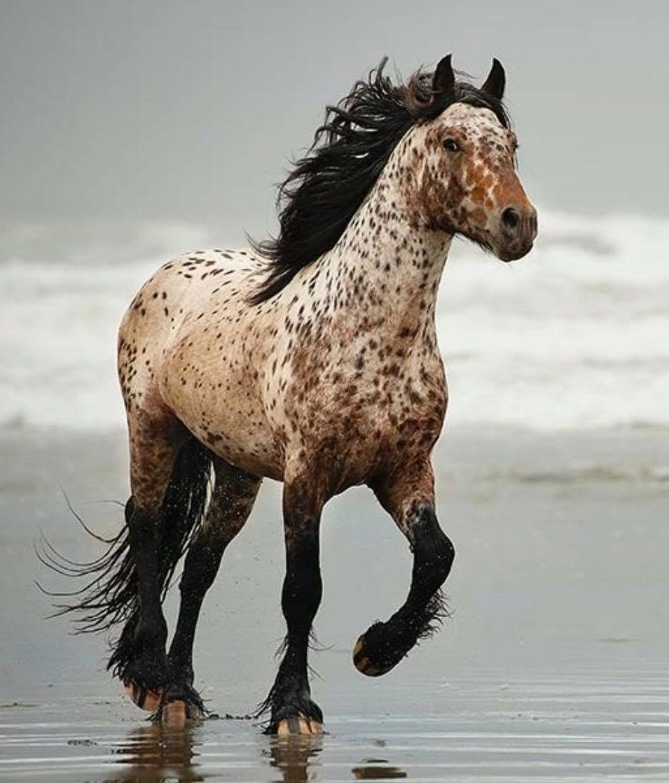 Pin By Elise Herbert On Colors Coat Patterns In 2020 Most Beautiful Horses Pretty Horses Appaloosa Horses