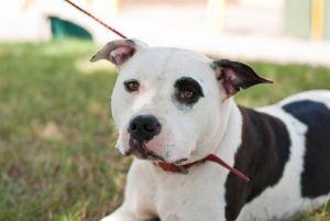 Adopt Bronson On Dog Adoption German Wirehaired Pointer Adoption