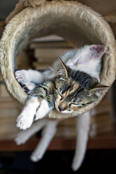 Idea By Navybluecats On Cats Taking A Cat Nap Cute Cats Cat Nap Cats
