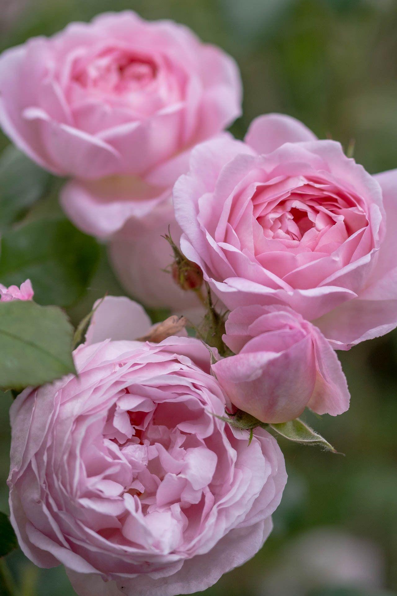Sceptre'd Isle, English Rose | Розы, Цветы и Растения