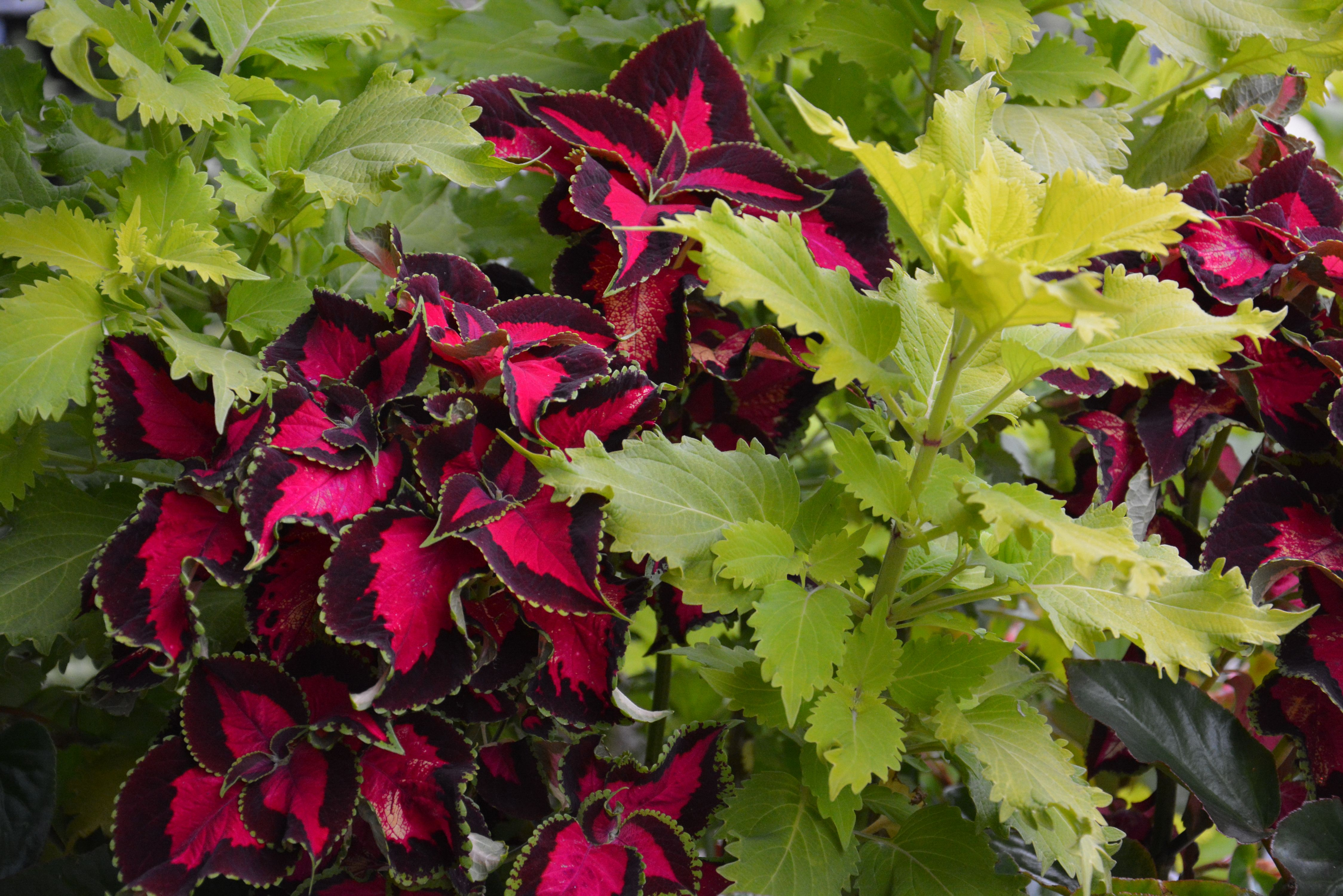 17 Best images about Non-flowering outdoor plants on Pinterest ...