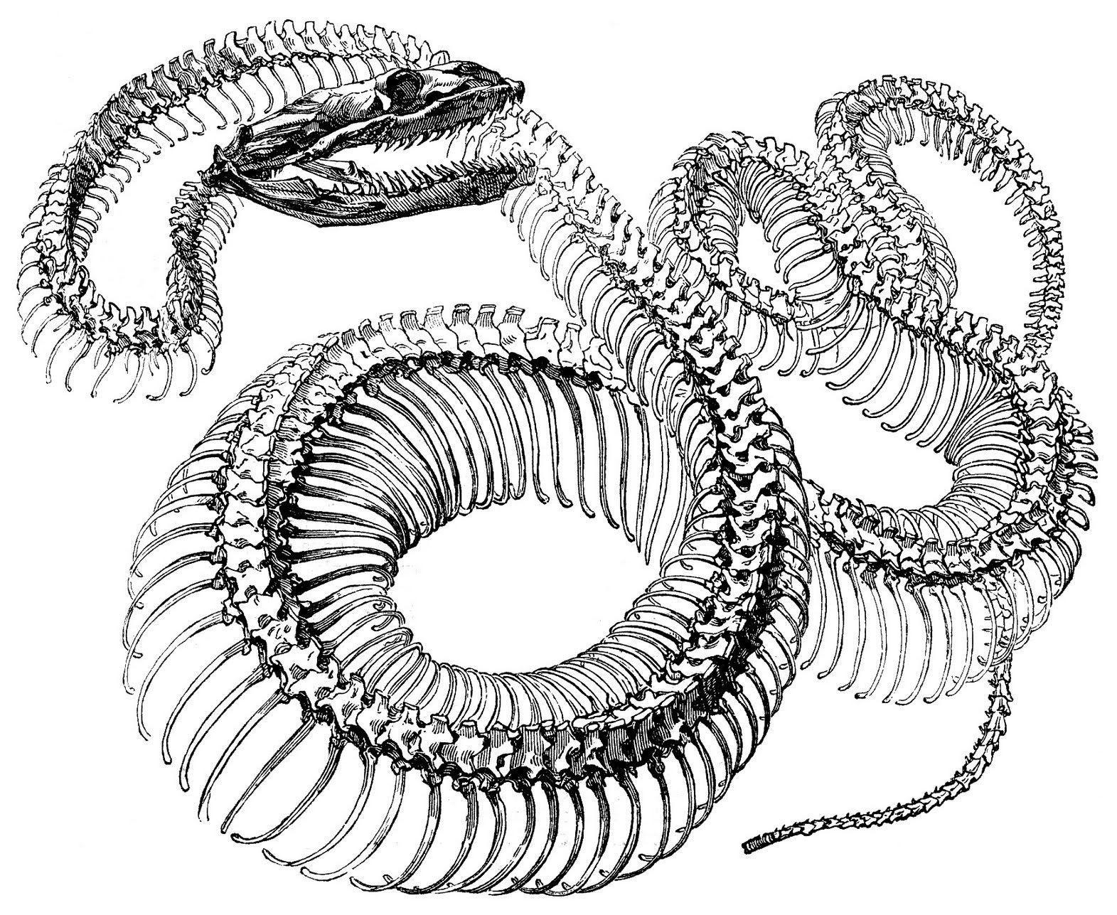snake skeleton set of 4 waterproof temporary tattoos tatto rh pinterest com Snake Skeleton Tattoo Rabbit Skeleton Diagram