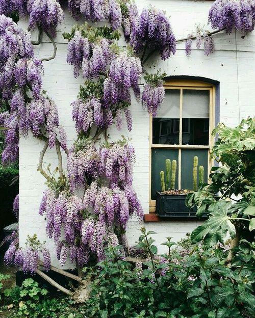 Purple Acacia Wisteria Sinensis Wall Climbing Plants Plants Flowers