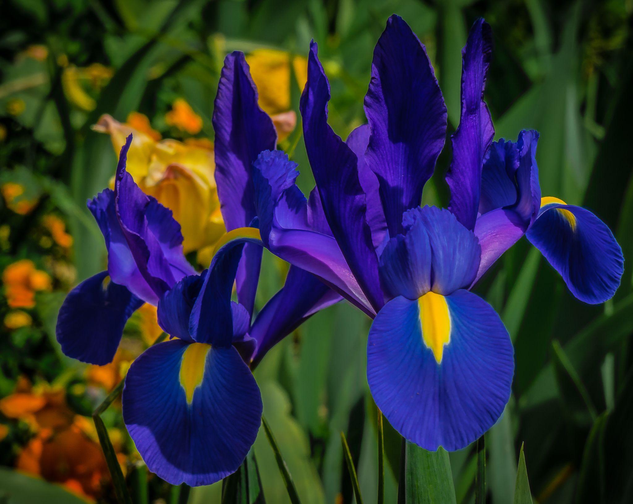 Monet S Treasure Iris Flowers Garden Iris Flowers February Birth Flowers
