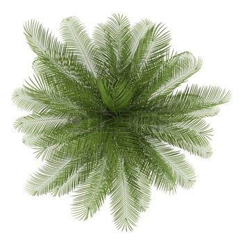 Plants Top View Top View Of Oil Palm Tree Isolated On White
