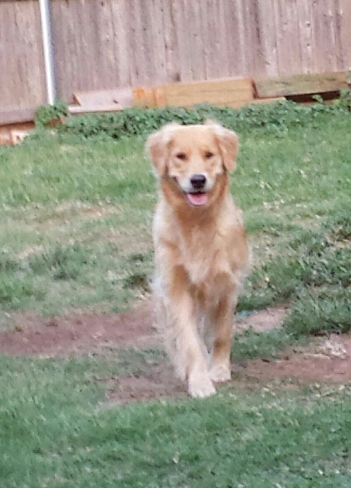 Oklahoma Kansas Texas Arkansas Puppies Obedience Field Conformation Agility Grca Benden Golden Retrievers Golden Retriever Retriever Puppy Retriever
