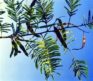 Acacia Catechu Natural Anti Inflammatory Energy Support Pictures