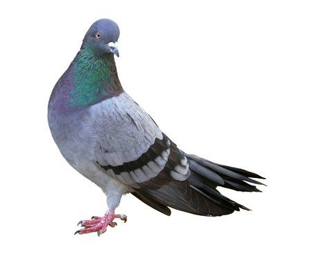 what is this it s not a pigeon it s kevin kevin pinterest