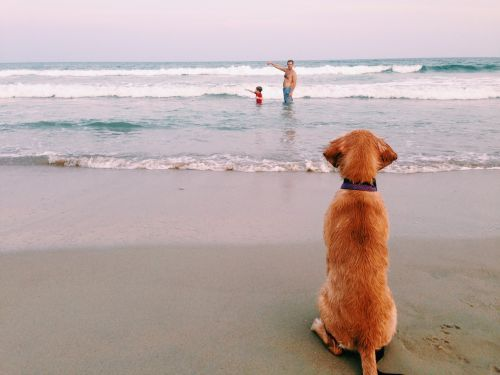 Our golden retriever puppy, Ruby, wishing she was a big girl and could join the rest of her family on Ocracoke! Photo by Carrie Geddie