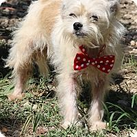 7 30 17 Cairn Terrier Yorkie Yorkshire Terrier Mix Dog For