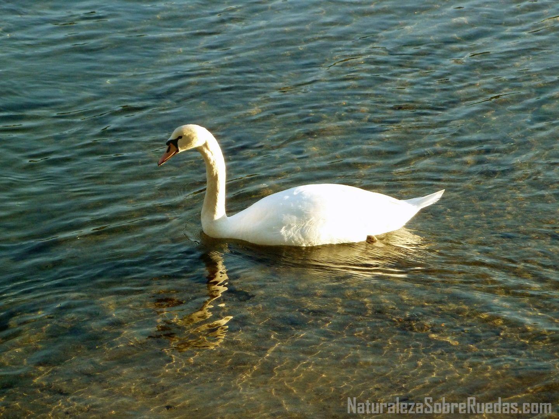 Salinas de Ulló. Cisne blanco  Más info: http://www.naturalezasobreruedas.com/2015/02/las-salinas-de-ullo-vilaboa.html