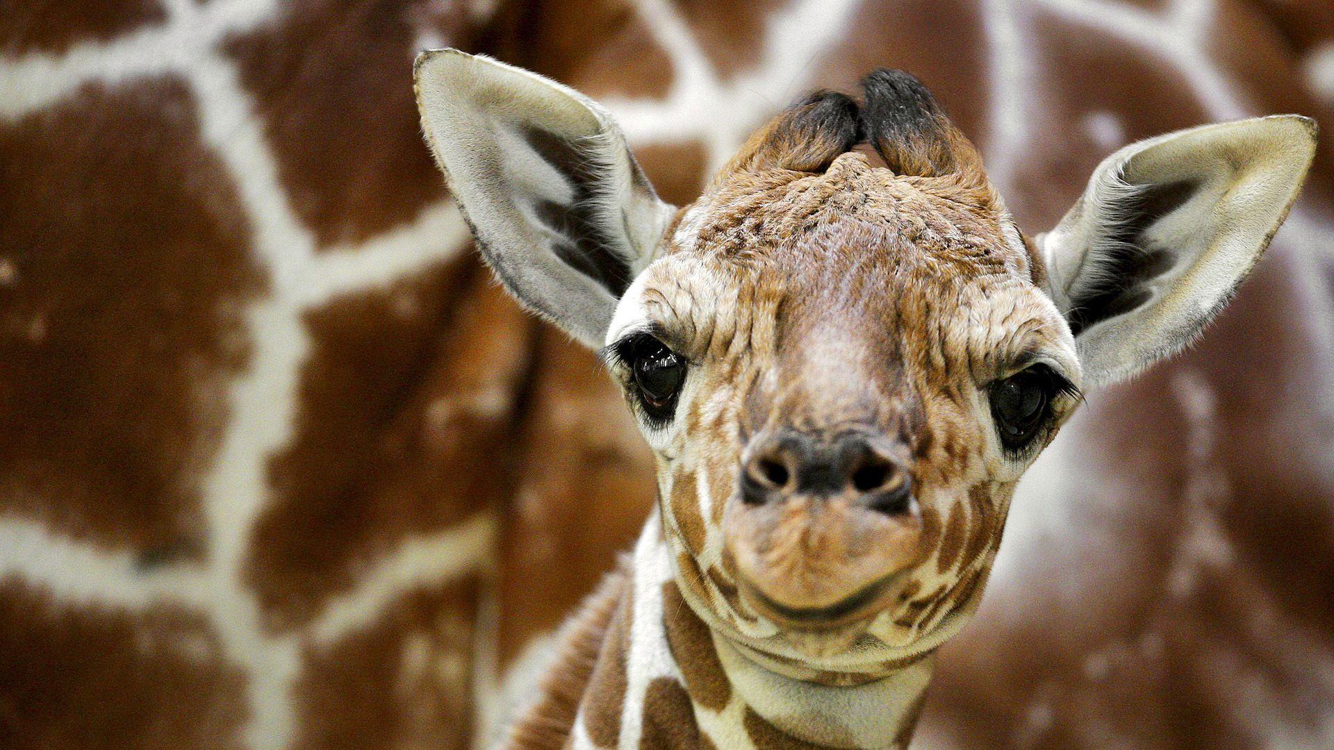 Giraffe Desktop Backgrounds Wallpaper Giraffe Desktop Baby Giraffe Giraffe Pictures Funny Giraffe Pictures