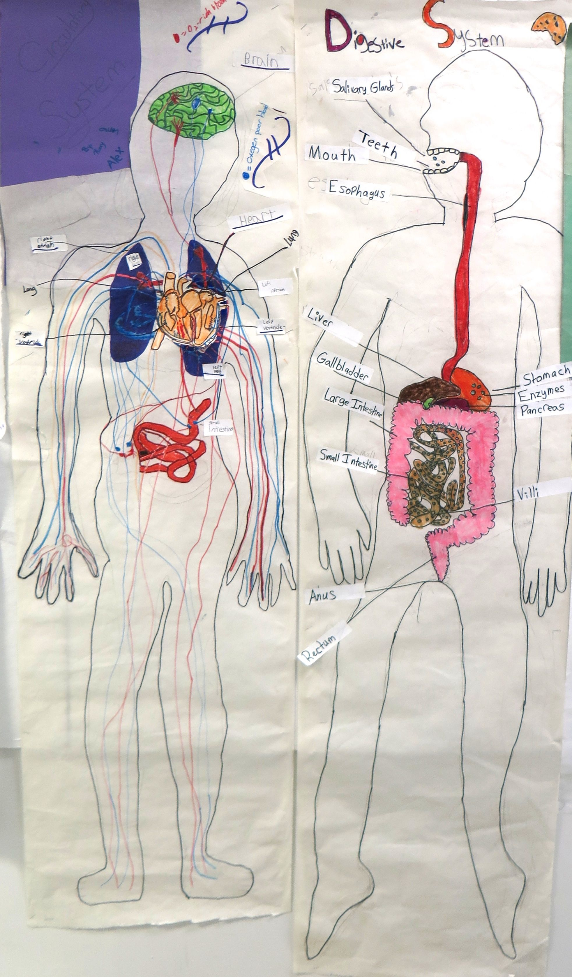 small resolution of the digestive system these 4th and 5th grade diagrams are adult life size
