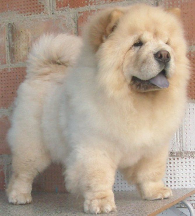 "Chow Chow...""Sassie""...."