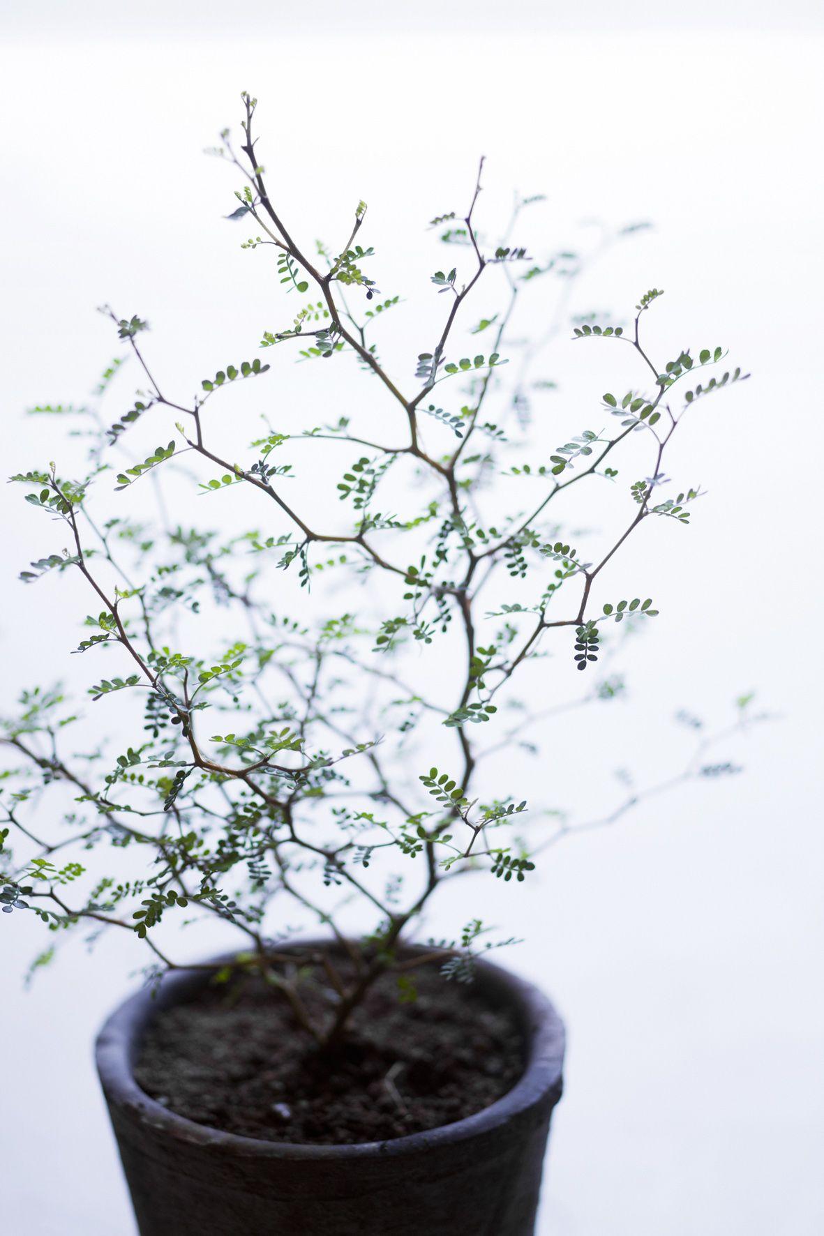 Arbre En Pot Hiver sophora prostrata // plante d'intérieur   jardin d'hiver
