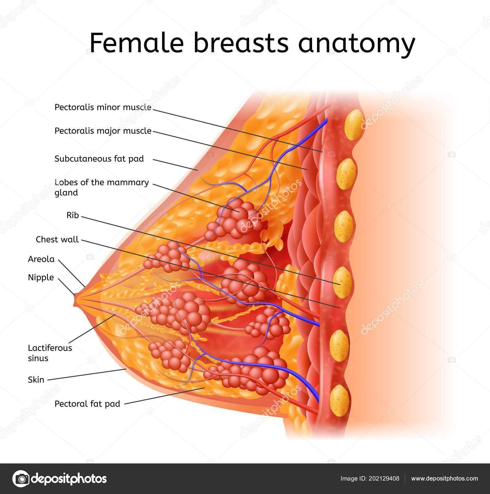 Human Female Organ Diagram Human Anatomy Organs Pinterest