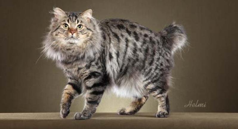 Americanbobtails American bobtail cat, American bobtail