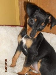 Adopt Holyfield On Dogs Miniature Pinscher Cute Animals